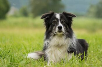 black and white border collie breed