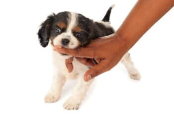 beagle nipping finger of hand