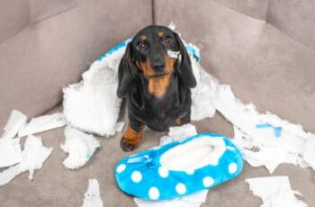 dachshund puppy sitting on couch with chewed up slipper
