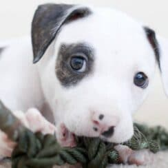 pit bull puppy chewing on rope - how to stop a pitbull puppy from biting