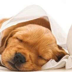 brown puppy laying in toilet paper for how to stop diarrhea in dogs