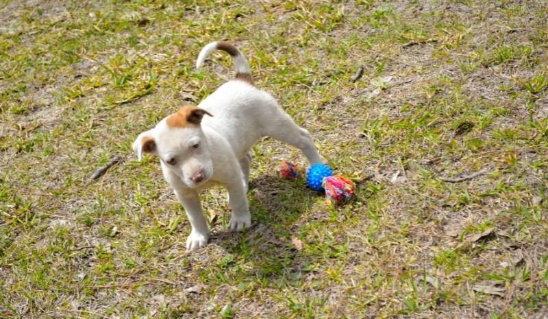 white and brown pit bull puppy outside with toys