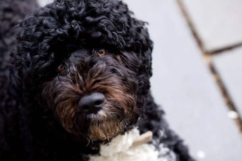 Portuguese water dog laying on deck