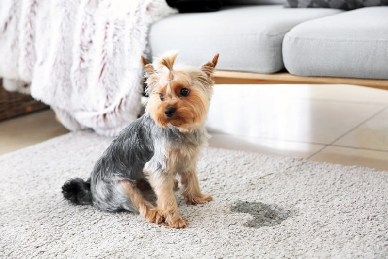 puppy sitting in front of his pee on carpet in living room
