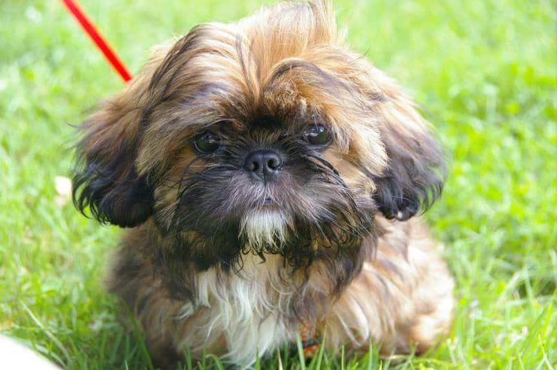 Shih Tzu sitting on the grass outside